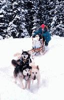 Fun with Kingmik Expeditions' sled dogs near Golden, British Columbia