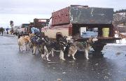 Photo of the 2000 Yukon Quest World's Strongest Dog Team
