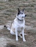 Kayla, my wolf-husky-GSD cross, at home in Carcross, Yukon Territory